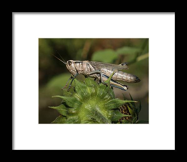 Grasshopper Framed Print featuring the photograph Grasshopper by Ernie Echols