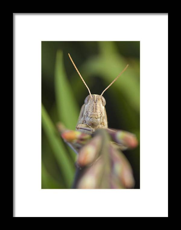 Gray Bird Grasshoppers Framed Print featuring the photograph Gray Bird Grasshopper Schistocerca by Rich Reid
