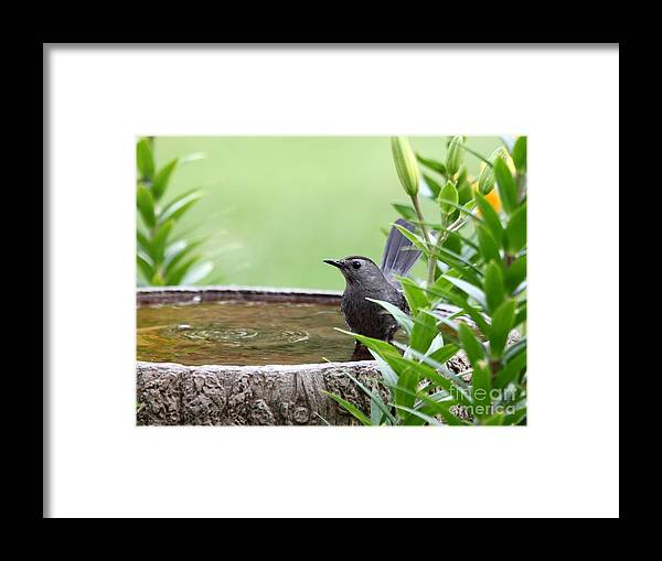 Nature Framed Print featuring the photograph Gray Catbird by Jack R Brock
