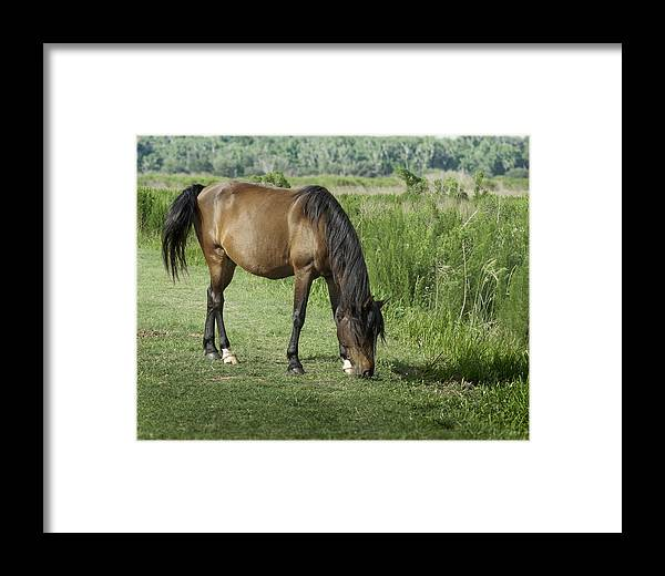Grazing Florida Cracker Horse Framed Print By Lynn Palmer