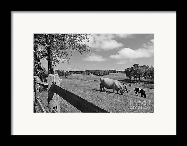 Cattle Framed Print featuring the photograph Grazing The Day Away by Catherine Reusch Daley