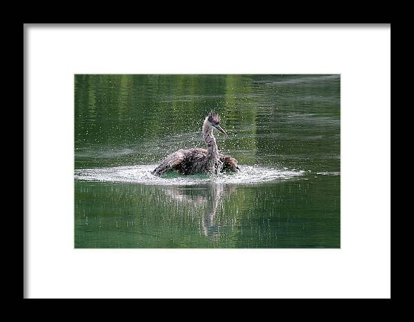 Great Blue Heron Framed Print featuring the photograph Great Blue Heron Having A Bath by Doris Potter