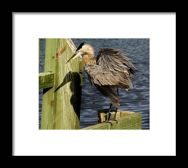 Great Blue Heron Framed Print featuring the photograph Great Blue Heron On The Block by Paulette Thomas