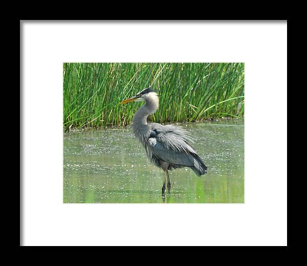 Great Blue Heron Framed Print featuring the photograph Great Blue Heron by Paul Ward