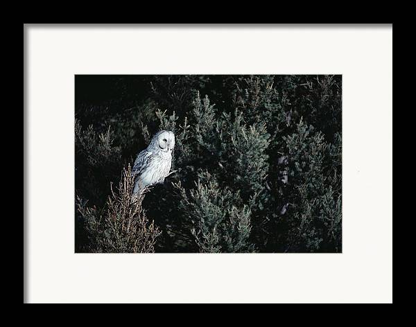 Mp Framed Print featuring the photograph Great Gray Owl Strix Nebulosa In Blonde by Michael Quinton