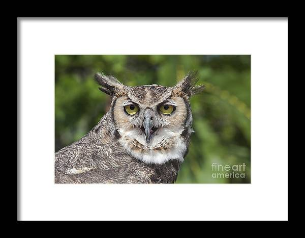 Wildlife Framed Print featuring the photograph Great Horned Owl by Keith Kapple