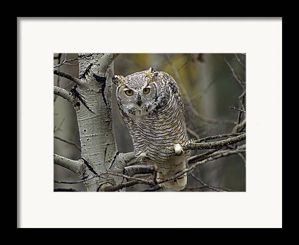 00486896 Framed Print featuring the photograph Great Horned Owl Pale Form Kootenays by Tim Fitzharris