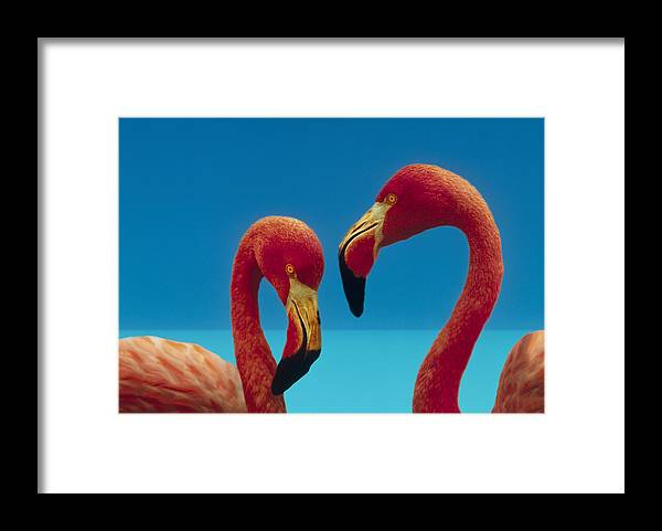 00172310 Framed Print featuring the photograph Greater Flamingo Courting Pair by Tim Fitzharris