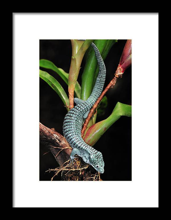 Mp Framed Print featuring the photograph Green Arboreal Alligator Lizard Abronia by Albert Lleal