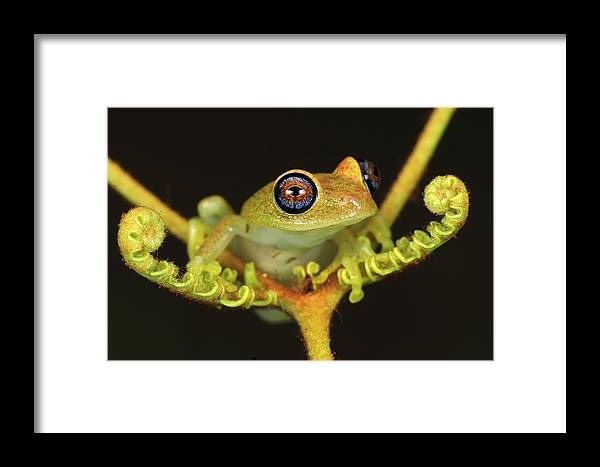 Mp Framed Print featuring the photograph Green Bright-eyed Frog Boophis Viridis by Thomas Marent