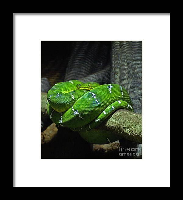 Snake Framed Print featuring the photograph Green Coiled Snake by Dawn Harris