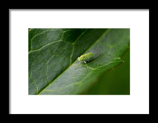 Insect Framed Print featuring the photograph Green Fellow by Marian Heddesheimer