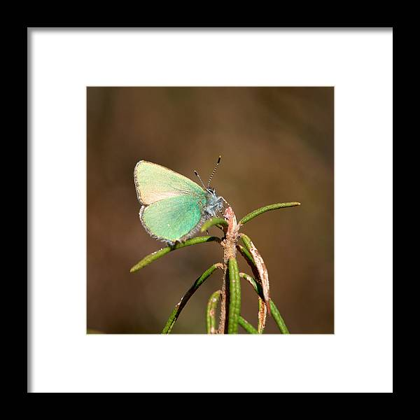 Isosuo Framed Print featuring the photograph Green Hairstreak by Jouko Lehto