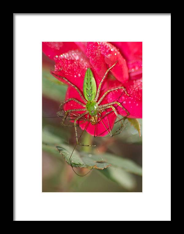 America Framed Print featuring the photograph Green Lynx And Pray 8625 3375 by Michael Peychich