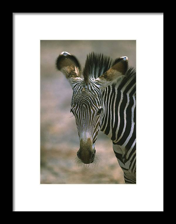 Flpa Framed Print featuring the photograph Grevys Zebra Equus Grevyi Foal, Kenya by Martin Withers