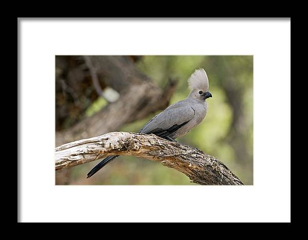 Grey Lourie Framed Print featuring the photograph Grey Lourie by Tony Camacho
