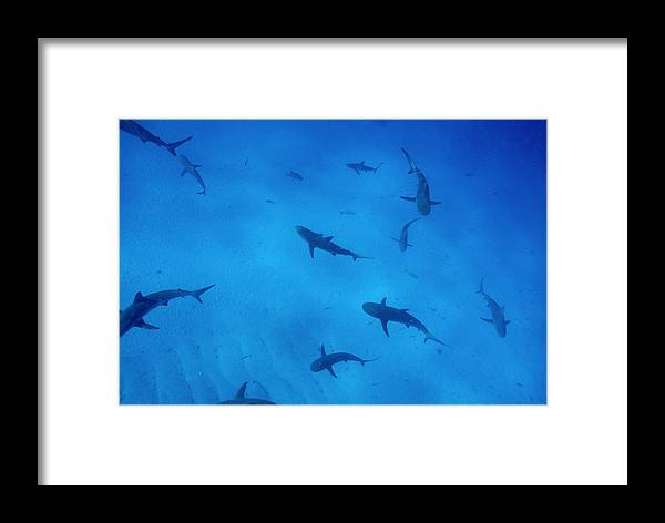 Reef Shark Framed Print featuring the photograph Grey Reef Sharks by Alexis Rosenfeld