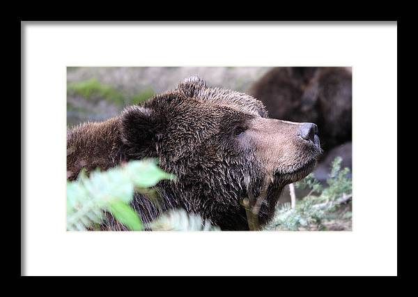 Northwest Trek Framed Print featuring the photograph Grizzley - 0010 by S and S Photo