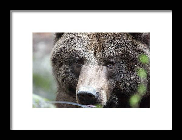 Northwest Trek Framed Print featuring the photograph Grizzley - 0018 by S and S Photo