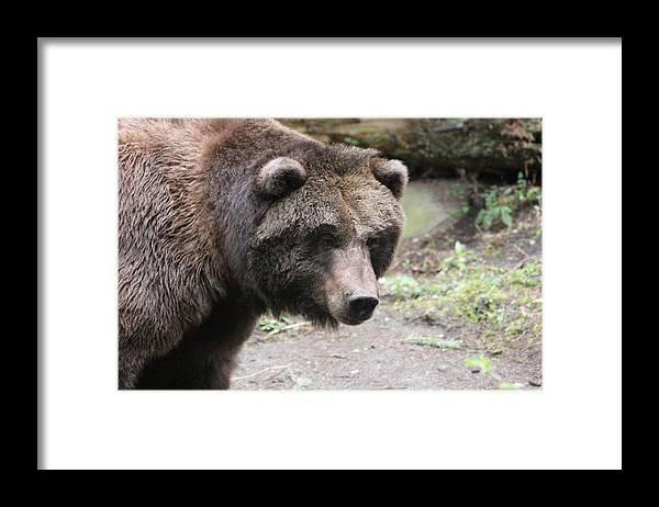 Northwest Trek Framed Print featuring the photograph Grizzley - 0021 by S and S Photo