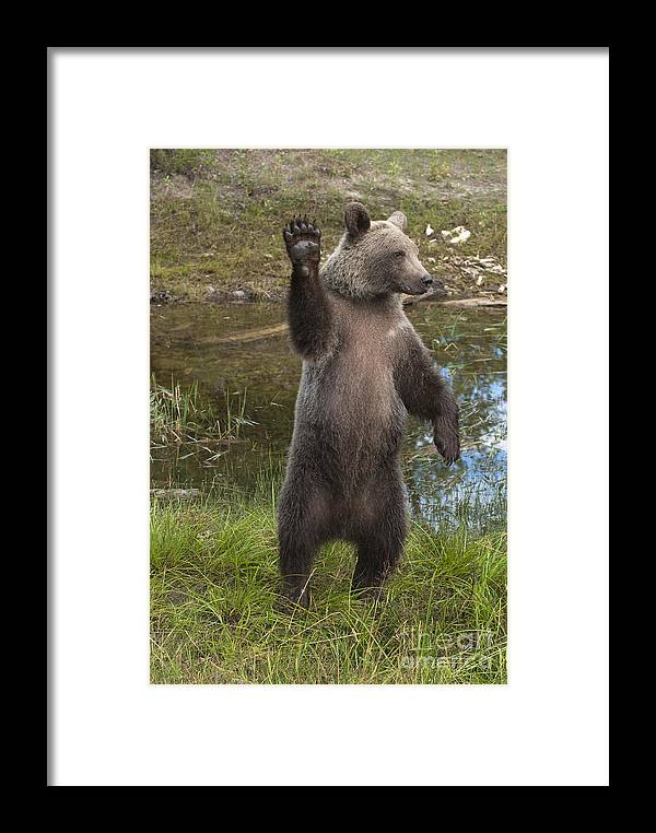 Bronstein Framed Print featuring the photograph Grizzly Bear Cub by Sandra Bronstein