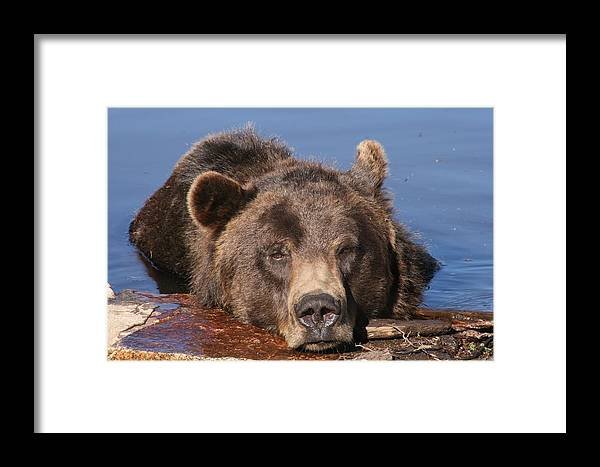 Grizzly Bear Framed Print featuring the photograph Grizzly Bear In Water by Mick Barratt