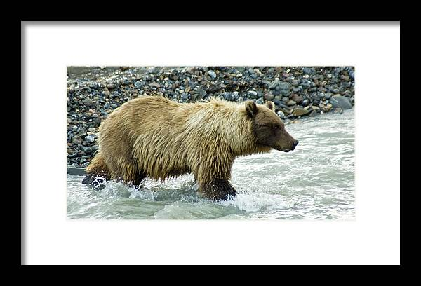 Alaska Framed Print featuring the photograph Grizzly Sow in Denali by Jim and Kim Shivers