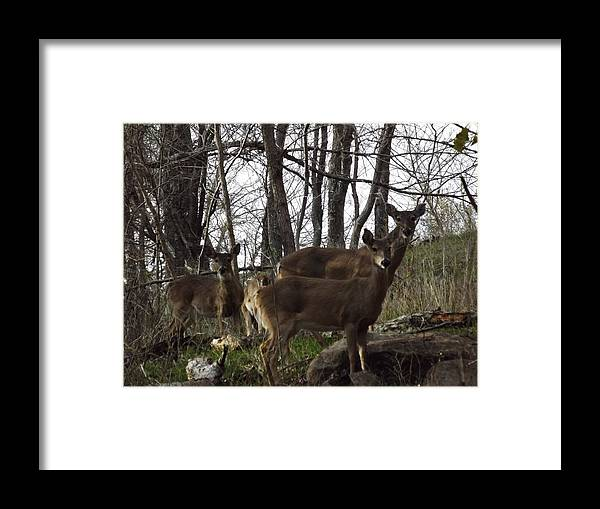Deer Framed Print featuring the photograph Group Of Deer by Shannon Bever