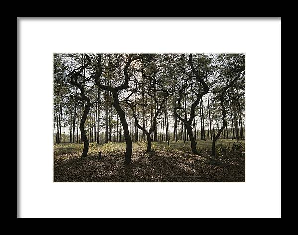 North America Framed Print featuring the photograph Grove Of Trees In The Ocala National by Raymond Gehman