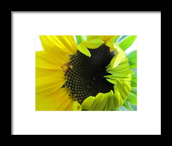 Sun Framed Print featuring the photograph Half-bloom Beauty by Tina M Wenger