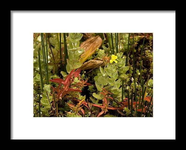 Ludwigia Palustris Framed Print featuring the photograph Hampshire Purslane (ludwigia Palustris) by Bob Gibbons