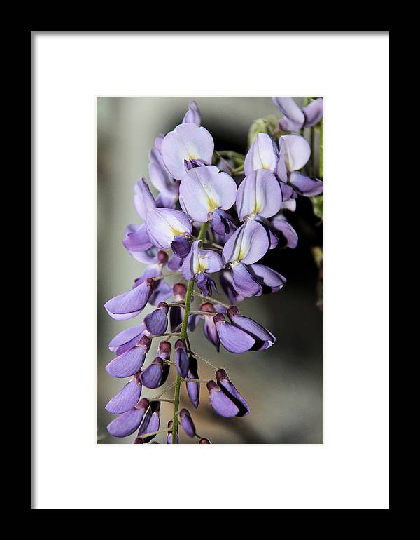 Fllowers Framed Print featuring the photograph Hanging by Lucia Velicu