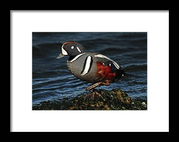 Harlequin Duck Framed Print featuring the photograph Harlequin Duck by Dave Mills