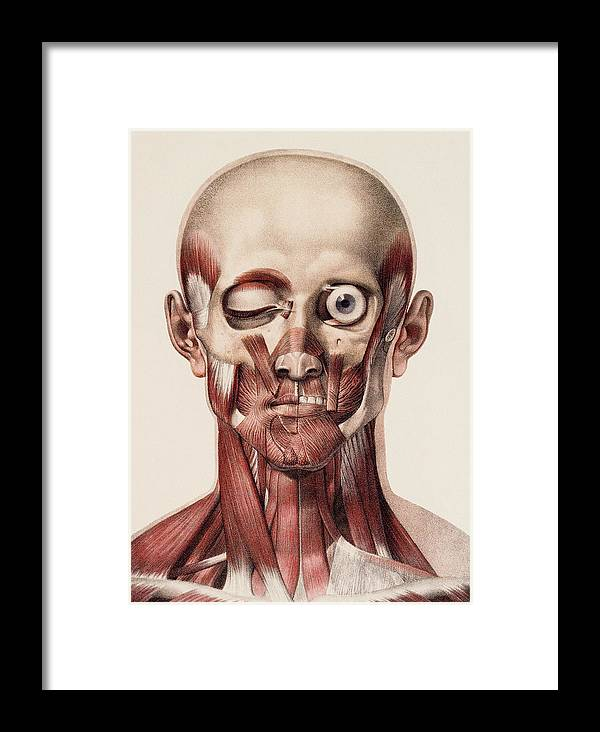Human Framed Print featuring the photograph Head And Neck Muscles by Mehau Kulyk