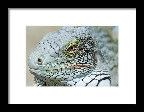 Iguana Iguana Framed Print featuring the photograph Head Of A Green Iguana by Georgette Douwma