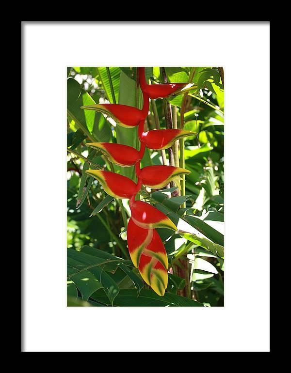 Hawaii Framed Print featuring the photograph Helikonia by Natalija Wortman
