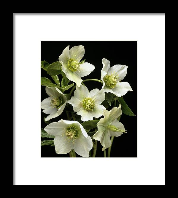 Helleborus Sp. Framed Print featuring the photograph Hellebore Flowers by Sheila Terry