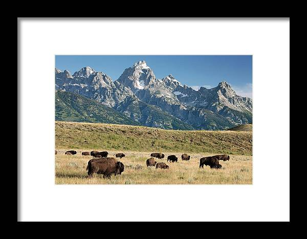 American Bison Framed Print featuring the photograph Herd Of American Bison by Bob Gibbons