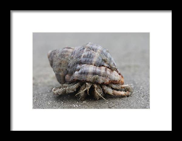 Hermit Crab Framed Print featuring the photograph Hermit Crab by Lorri Crossno