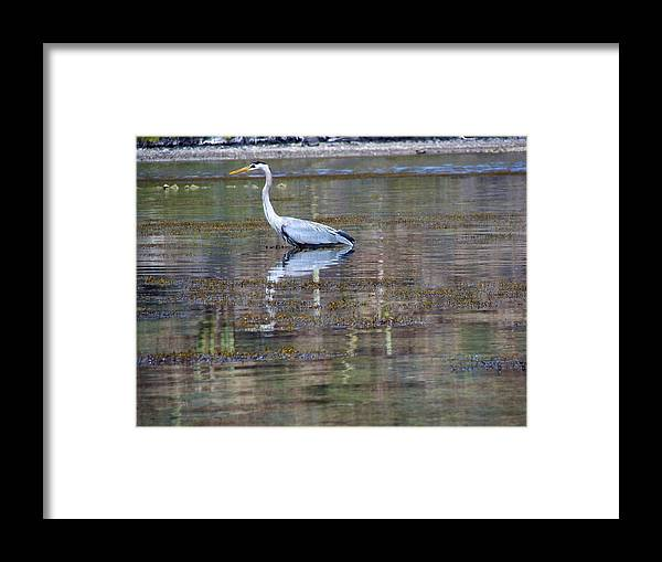 Great Framed Print featuring the photograph Heron Fishing by Ramie Liddle