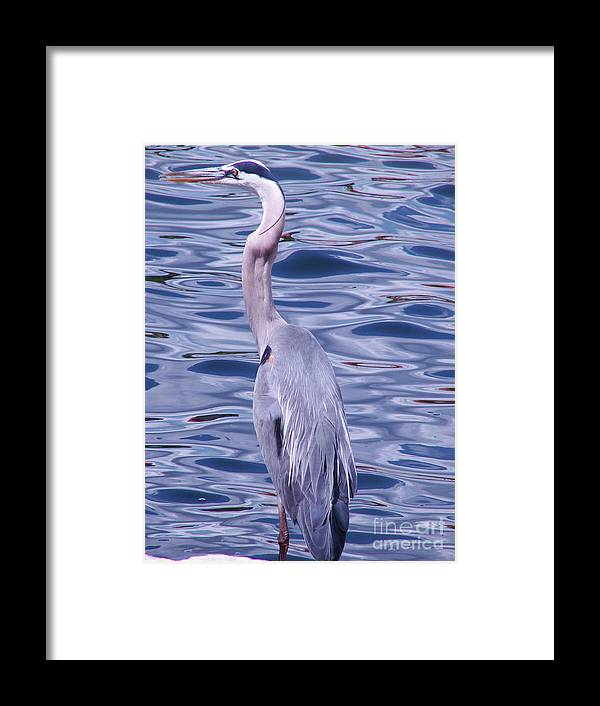 Blue Heron Framed Print featuring the photograph Heron On Blue by Mark Holbrook
