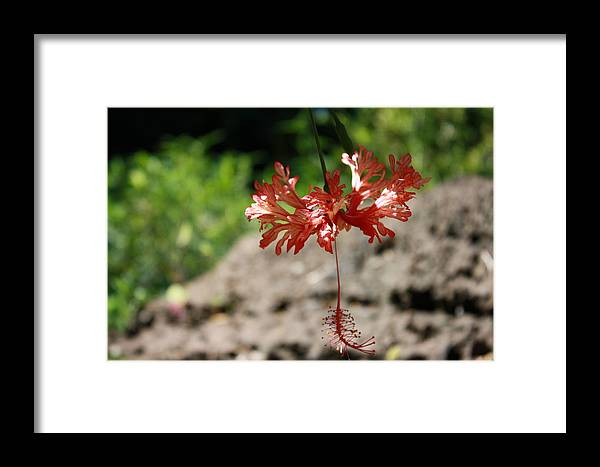 Nature Framed Print featuring the photograph Hibiscus by Natalija Wortman