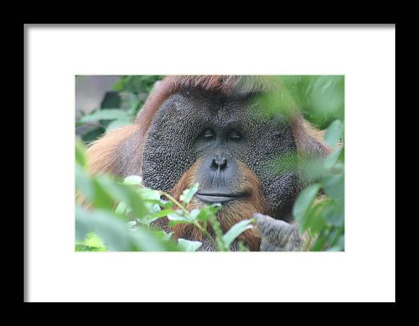 Orangutan Framed Print featuring the photograph Hide And Seek by Michael Russell