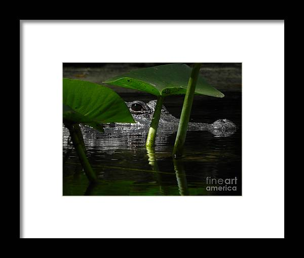Alligator Framed Print featuring the photograph Hide and Seek You by Jack Norton