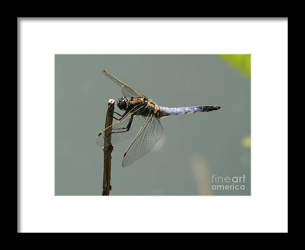 Nature Framed Print featuring the photograph Hold On My Dear Dragonfly by Valia Bradshaw