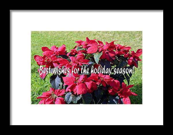Plants Framed Print featuring the photograph Holiday Greetings With Poinsettias by Linda Phelps