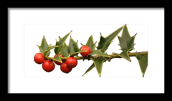 Holly Framed Print featuring the photograph Holly Branch by Paolo Marini