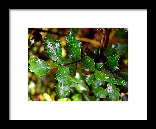 Usa Framed Print featuring the photograph Holly Daze Dew Drops by LeeAnn McLaneGoetz McLaneGoetzStudioLLCcom
