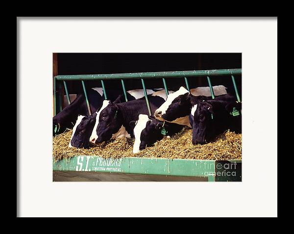 Cow Framed Print featuring the photograph Holstein Dairy Cows by Photo Researchers