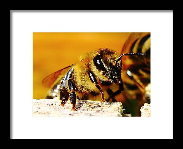Zoom Framed Print featuring the photograph Honey Bee by Ion Para